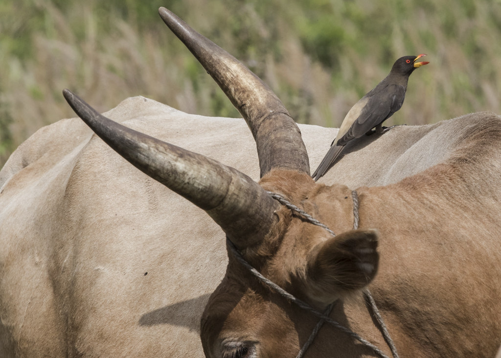 Yellow-billed Oxpecker   Gambia 2016