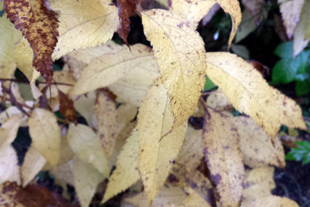 yellowed leaves that are starting to turn brown