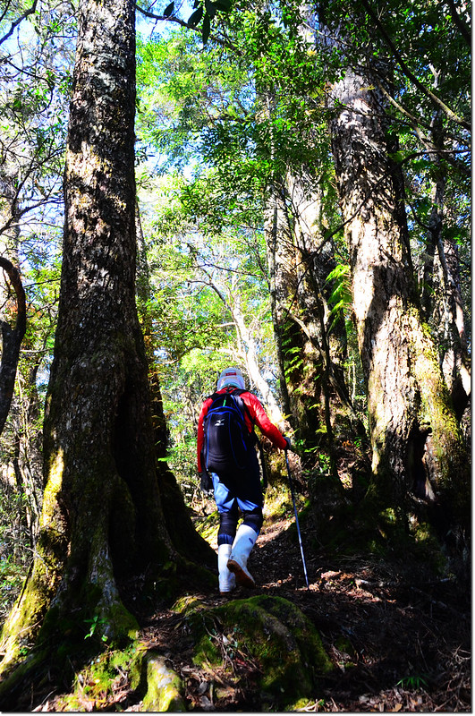 基那吉山登山步道和巨木 4