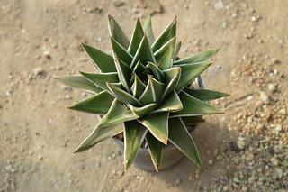 163 Haworthia marginata  ハオルチア 瑞鶴