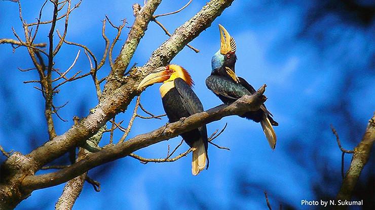 นกเงือกกรามช้างปากเรียบ Plain-pouched Hornbill