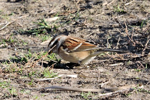 American Tree Sparrow #103 (Lifer #158)