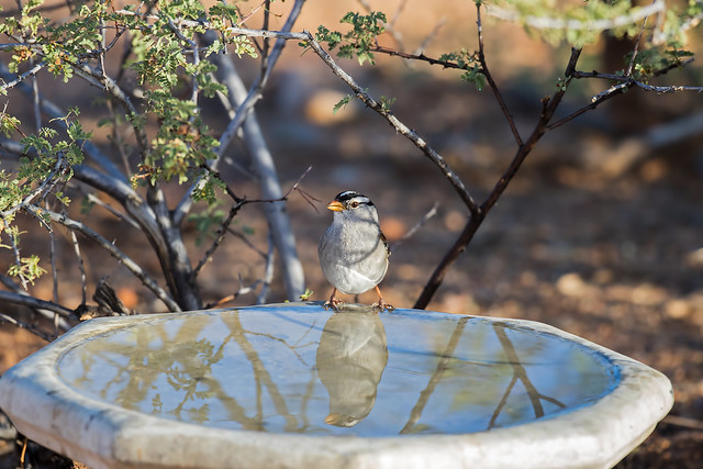 White-crowned-Sparrow-5-7D2-100516