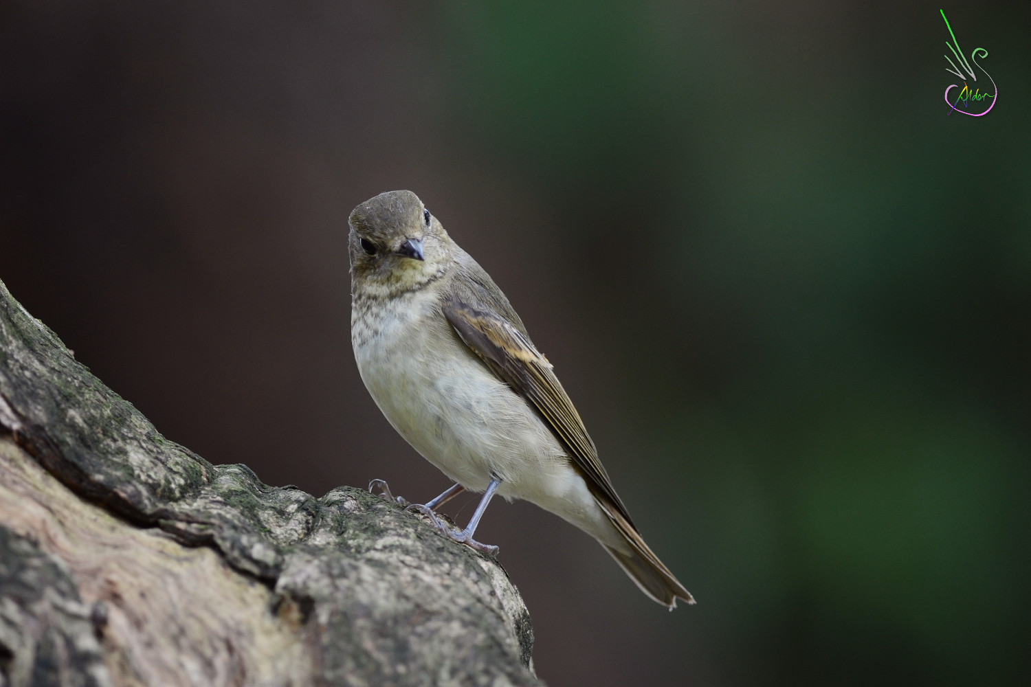 Narcissus_Flycatcher_6374