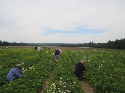 In the field, McCardle's Berry Patch #pei #tracadie #berrypatch #upick #latergram