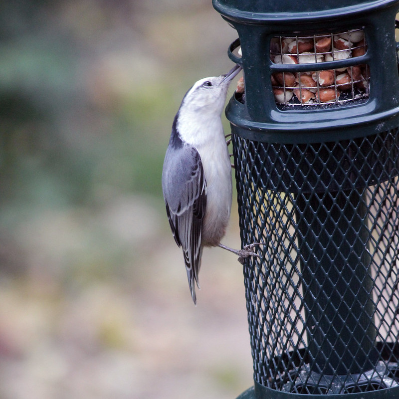 IMG_0798 Nuthatch at Peanut Feeder (square crop)