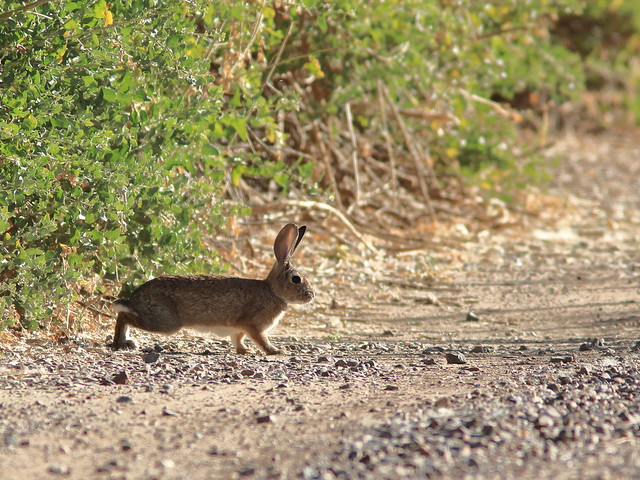 Desert Cottontail 01-20161103