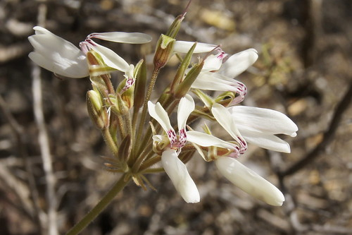 Pelargonium rapaceum, white-flowered form