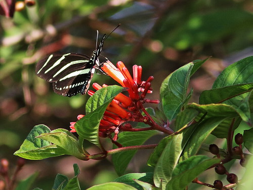 Zebra heliconian on Firebush 20161113