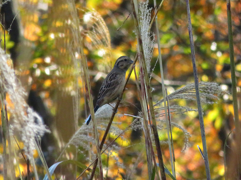 Common reed bunting. Young male