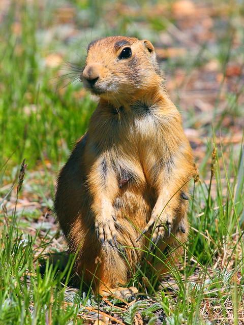 IMG_1570 Utah Prairie Dog, Bryce Canyon National Park