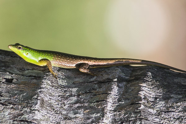Green and brown lizard