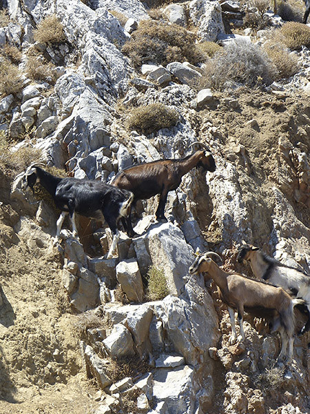 chèvres 1