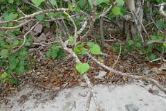 テリハボクの葉