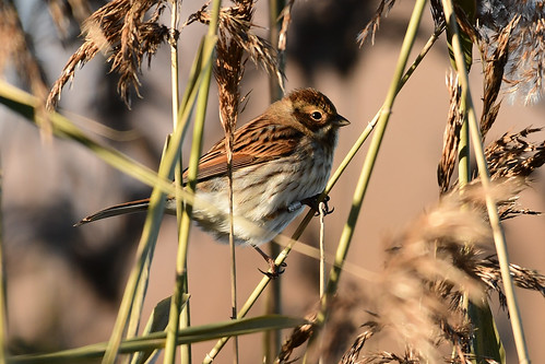 female Reed Bunting (Rohrammer)