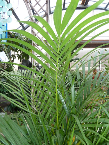 Dypsis lutescens leaf kmoore ccby20