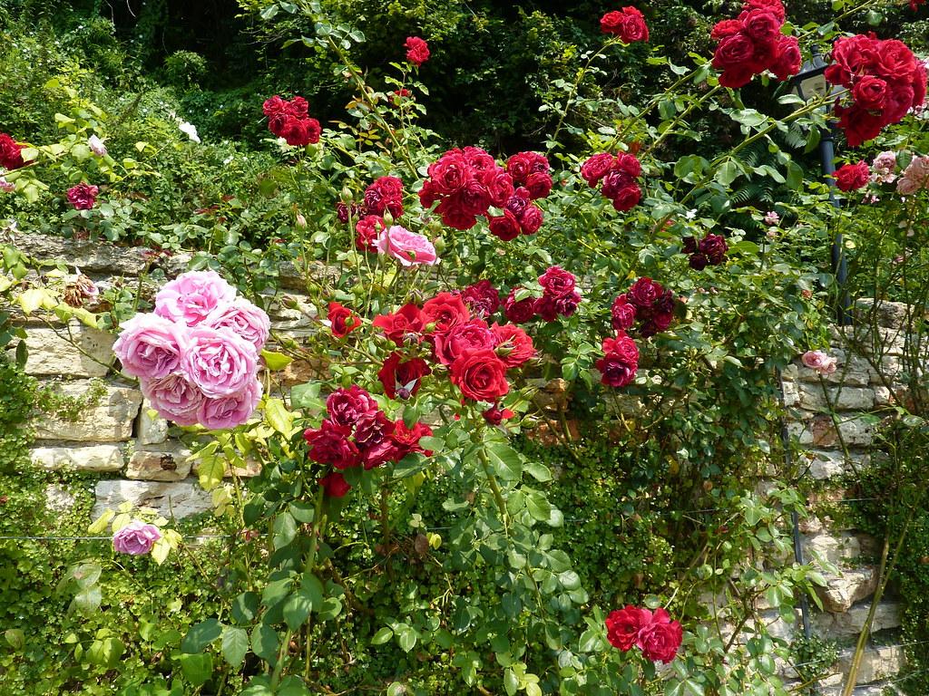 Roses in Balchik
