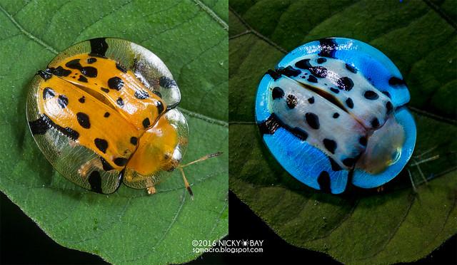 Tortoise beetle (Aspidomorpha sp.) - DSC_2521