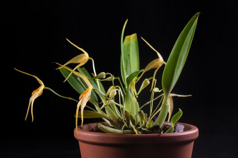 Bulbophyllum ankylochele 31393313215_05eecd90f2_c
