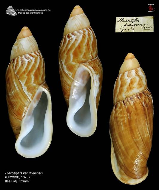 placostylus kantavuensis n° 450---30