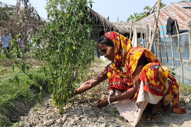 Woman growing chillis at her farm in Khulna, Bangladesh. Photo by M. Yousuf Tushar. April 17, 2014.