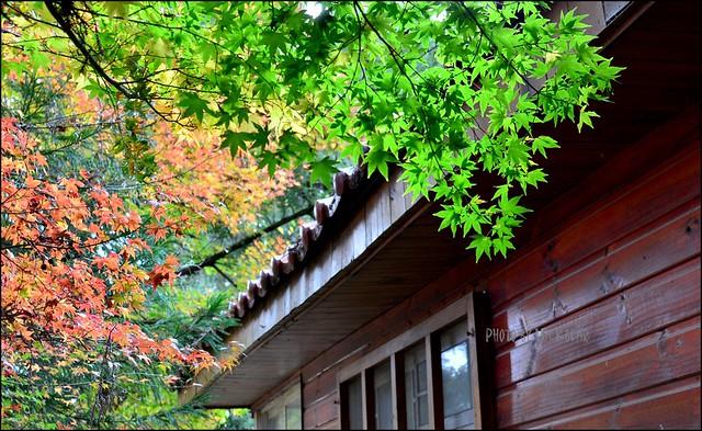 福壽山農場楓葉季007