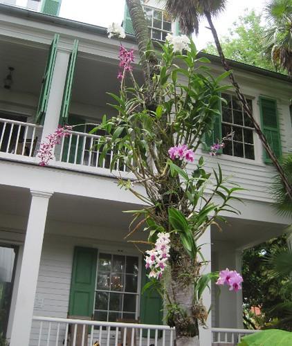 audubon_orchid_tree