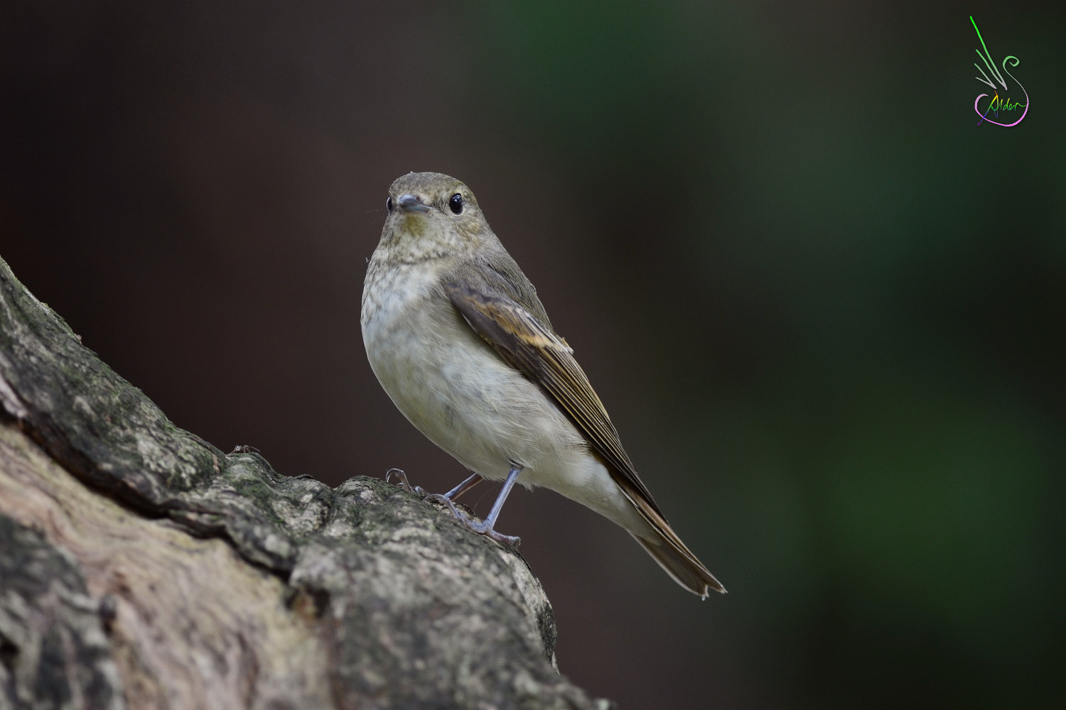 Narcissus_Flycatcher_6373