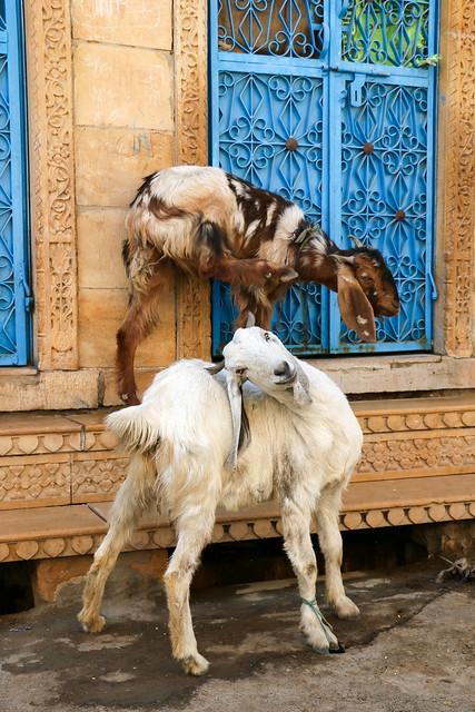 Goats in the street, Jaisalmer, India ジャイサルメール 路上のヤギ