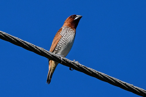 Palmetto Bay, FL: Scaly-breasted Munia