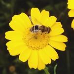 Eristalis arbustorum ♀
