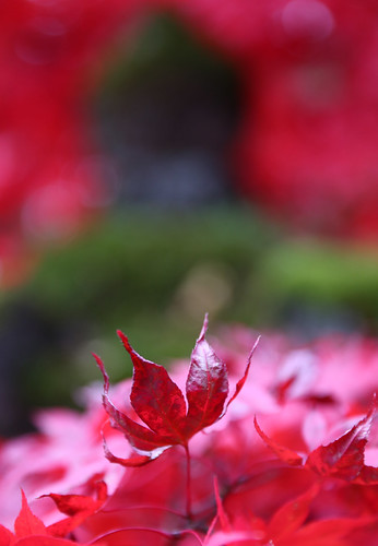 Nikko Koyo Red Autumn Leaf Reaching For The Sky Bokeh