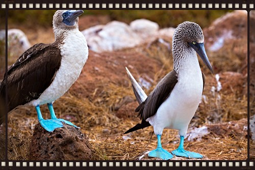 Galapagos-Blue-footed-Booby1