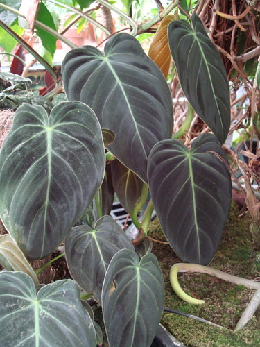 Philodendron melanochrysum crogers