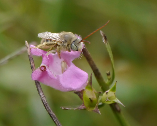 Native Bee on Prairie False Foxglove (Agalinis heterophylla)