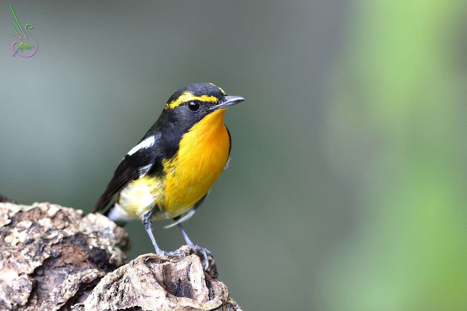 Narcissus_Flycatcher_8532