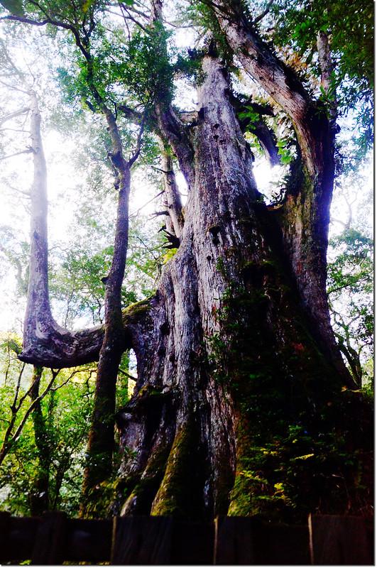 司馬庫斯巨木群大老爺神木 1
