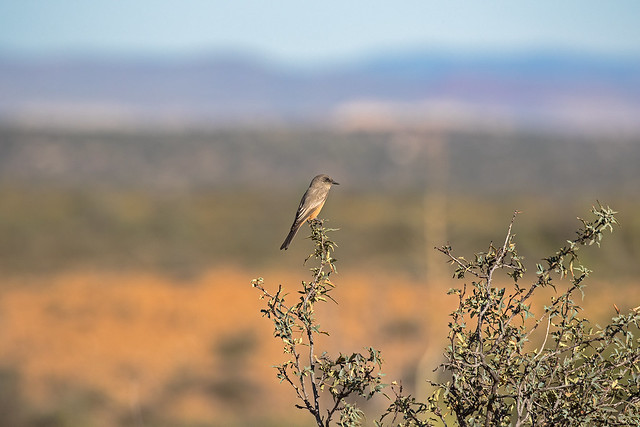 Say's-Phoebe-19-7D2-100716