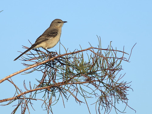 Northern Mockingbird 20161127