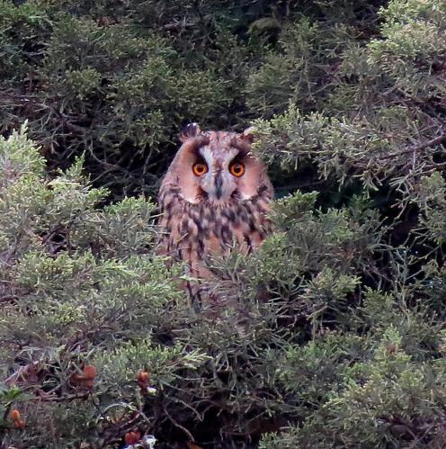 Long-eared Owl Asio otus Sagres, Algarve October 2016