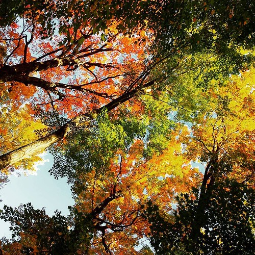 There are times in fall when the forest canopy is like a silent still-life fireworks display. #knoxfarm #wny #EastAurora #wny #autumn #forest #trees