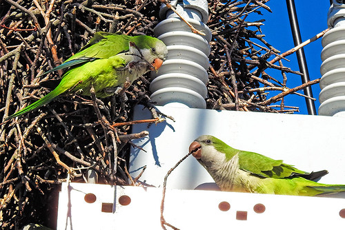 Cow Meadow Park, NY: Monk Parakeets