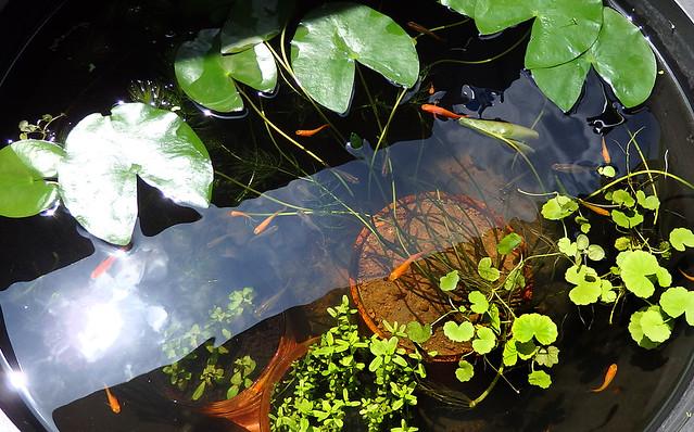 ビオトープ メダカ 水生植物 睡蓮鉢