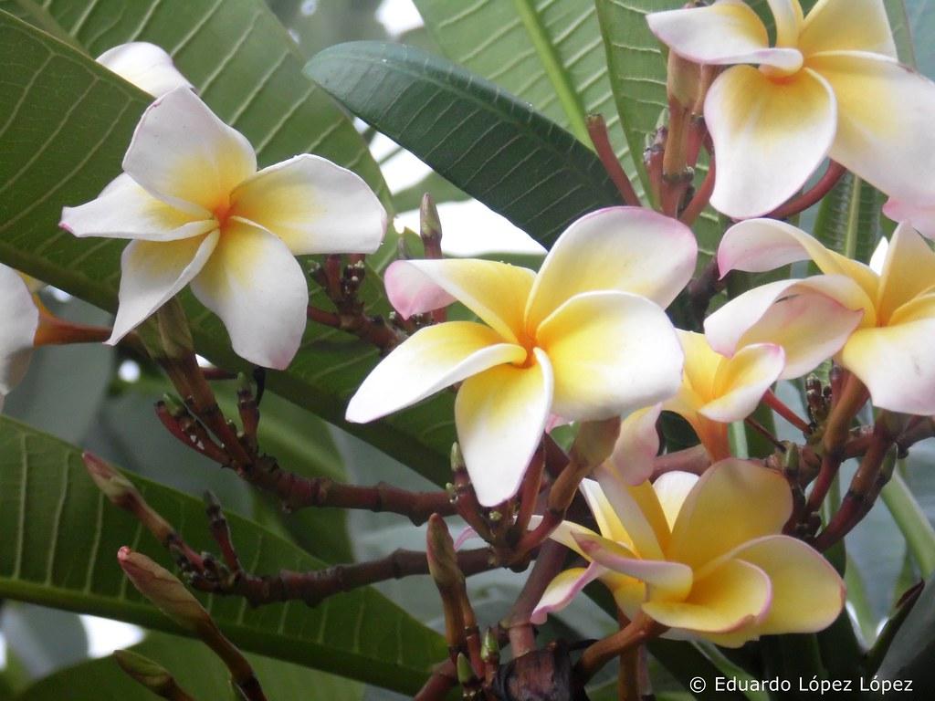 Flor de frangipane
