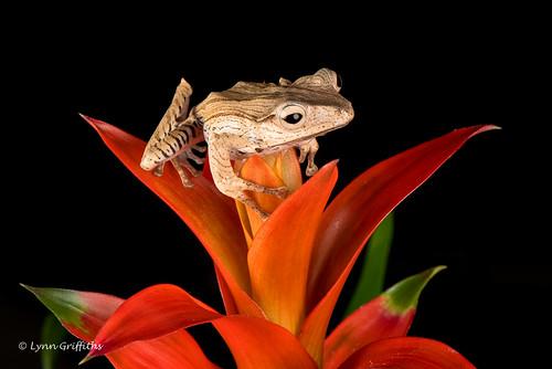 Borneo Eared Frog - Perfect balance D75_2638.jpg