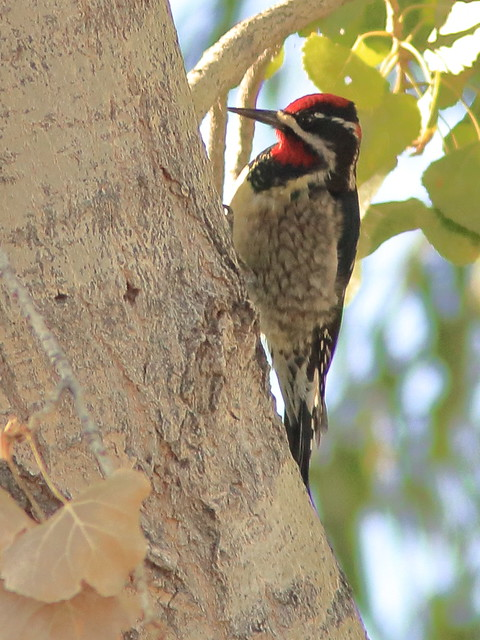 Red-naped Sapsucker 03-20161103