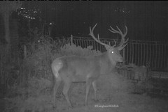 Red Stag in garden at night