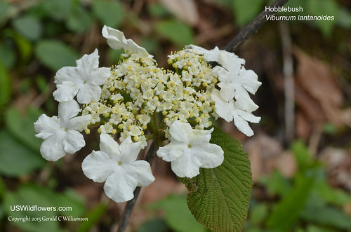 Witch Hobble - Viburnum lantanoides