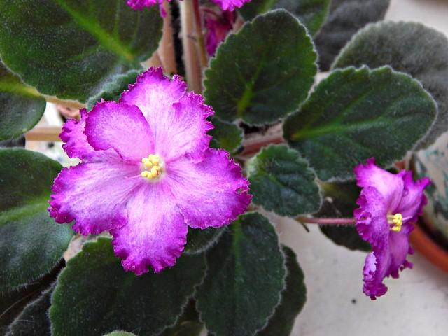 Розово-сиреневая фиалка | pink violet