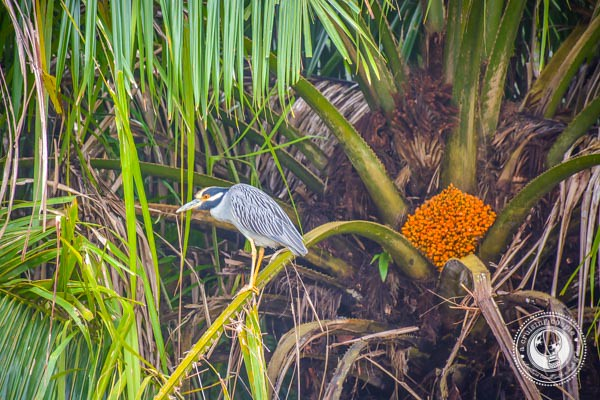 Yellow-Crowned Night-Heron in Sierpe